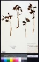 Image of Prosartes maculata
