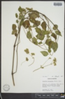 Mirabilis nyctaginea image