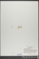 Elatine triandra image