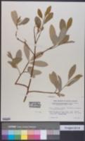 Erythroxylum novogranatense var. truxillense image