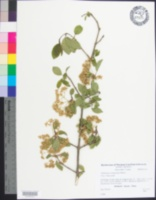 Image of Viburnum setigerum