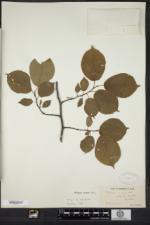 Prunus nigra image