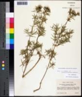 Pycnanthemum tenuifolium image