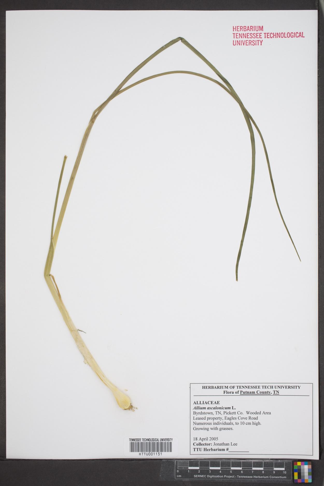 Allium ascalonicum image