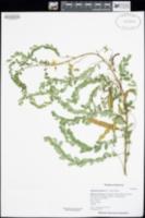 Diphysa thurberi image