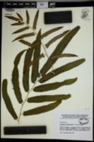 Lygodium smithianum image