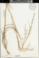 Image of Schizachyrium stoloniferum
