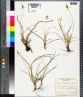 Image of Carex ericetorum
