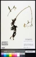 Image of Armoracia lacustris