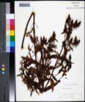 Image of Hypericum ascyron