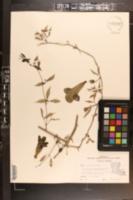 Image of Phaedranthus buccinatorius