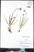 Oreostemma alpigenum var. andersonii image