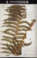 Image of Polystichum kurokawae