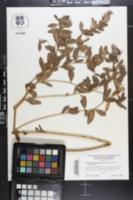 Image of Pediomelum piedmontanum