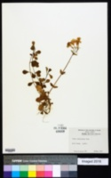 Phlox stolonifera image