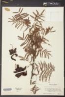 Dichrostachys cinerea image