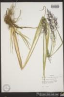 Panicum stipitatum image