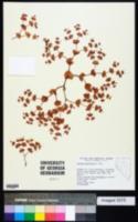 Oxytheca perfoliata image