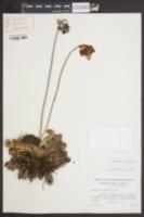 Image of Sarracenia psittacina