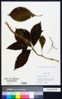 Comanthosphace stellipila image