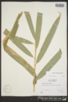 Image of Phyllostachys makinoi
