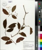 Image of Begonia estrellensis
