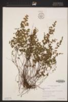 Adiantum jordanii image
