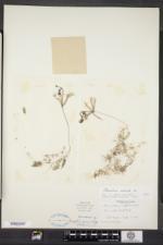 Utricularia radiata image