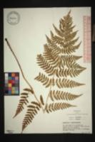 Image of Dryopteris pittsfordensis
