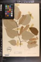 Tilia americana var. caroliniana image