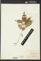 Image of Urtica pumila