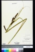 Carex verrucosa image