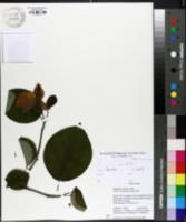 Image of Magnolia cylindrica