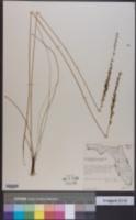 Image of Schoenocaulon dubium