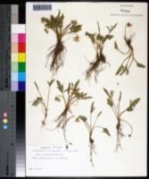 Viola egglestonii image