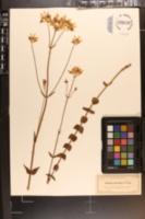 Image of Sabatia lanceolata