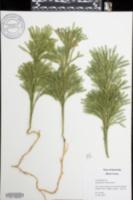 Dendrolycopodium obscurum image