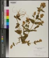 Gentiana quinquefolia image
