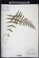 Image of Amauropelta piedrensis