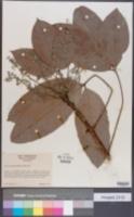 Image of Hevea spruceana