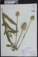 Dipsacus sylvestris image