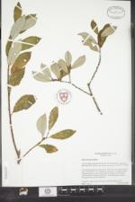Salix atrocinerea image