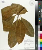 Image of Neisosperma oppositifolia