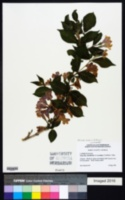 Diervilla rivularis image