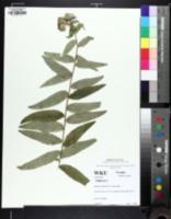 Image of Silphium radula