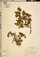 Amelanchier utahensis var. covillei image