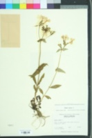 Image of Phlox latifolia