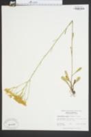 Chondrophora nudata image