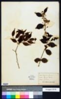 Eugenia procera image