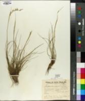 Image of Piptochaetium stipoides